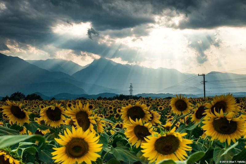光景写真- 2013 山梨 明野の向日葵 1