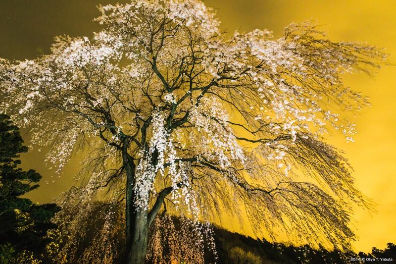 浄福寺・しだれ桜の金屏風