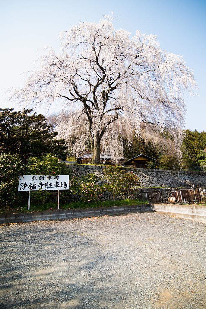 浄福寺・しだれ桜の金屏風撮影現場
