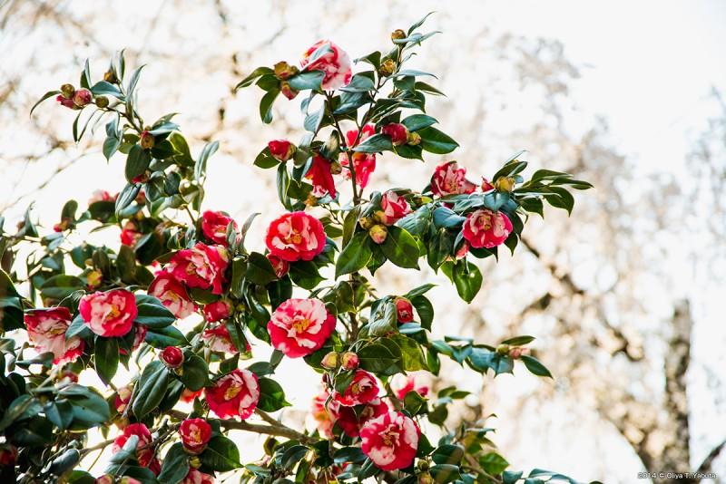 浄福寺・裏のしだれ桜と椿